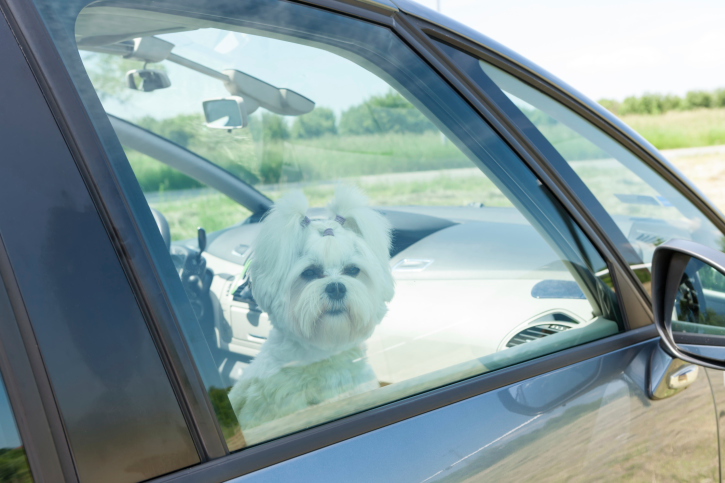 Dog trapped in hot car
